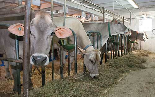 Brown Swiss cows eating in stanchion barn