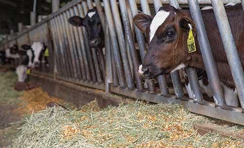 heifers at manger