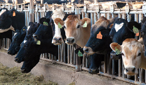 Holstein, Jersey and Brown Swiss cows