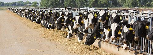 heifers at a dry lot manger