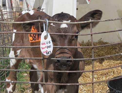 plastic tags to id calves