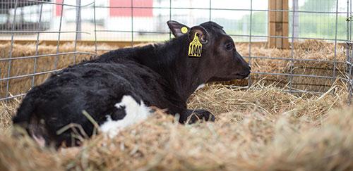 Holstein calf in straw