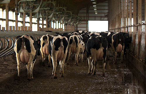 dairy cows with docked tails