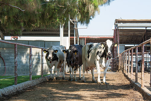 Holsteins in California