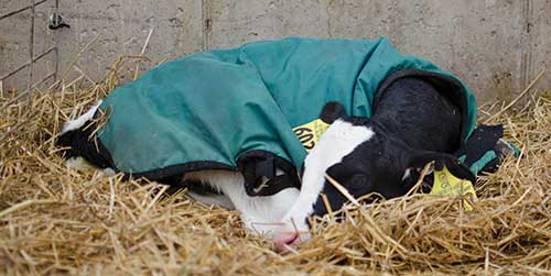Holstein calf lying in straw with calf jacket