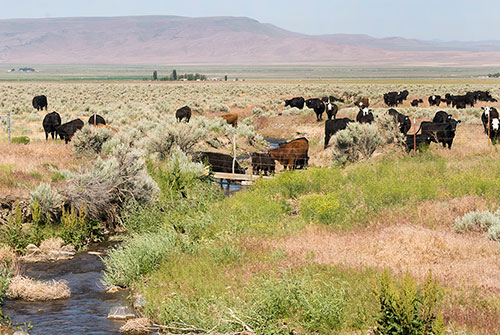 Beef cattle drink from a seasonal stream in northern Nevada