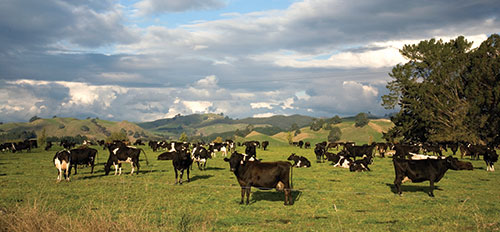 Cows in New Zealand