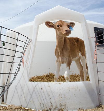 Guernsey calf in hutch