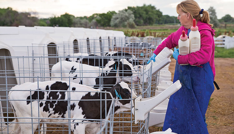 170410_241-calf-feeding