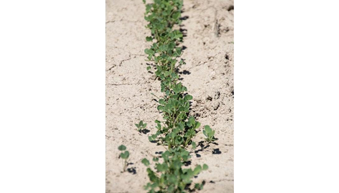 1706_399-alfalfa-plants
