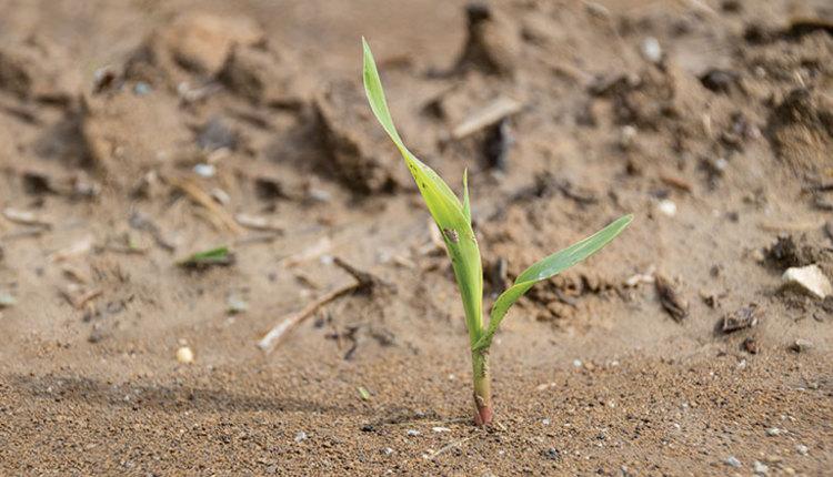 1806_376-corn-plant