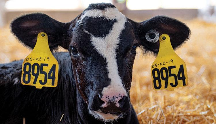 200110_16-calf