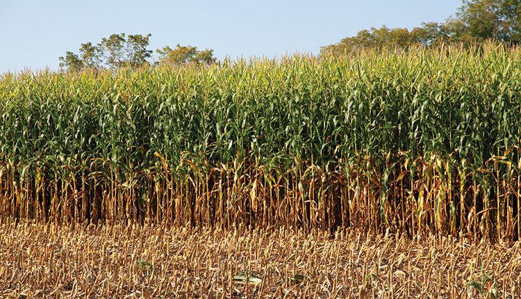 21-aug_645-corn-silage