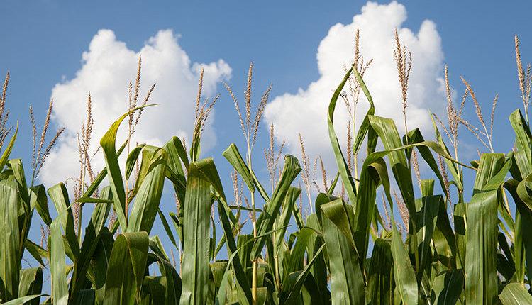 21-sept25-corn