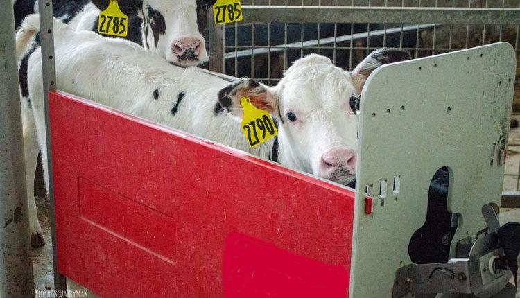 Allen-calf-feeder_web2