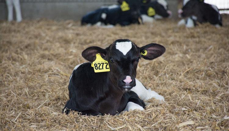 Bauer-grouped-calves_web3