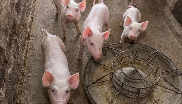 Donnay-hogs_web