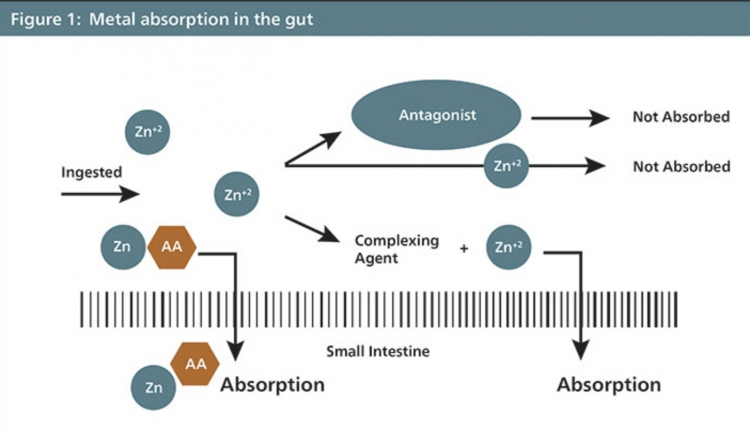 Metal-absorption-in-the-gut-750