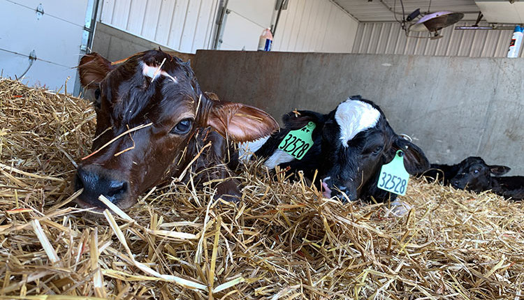 Newborn-calf_barn_GCC_blog_750