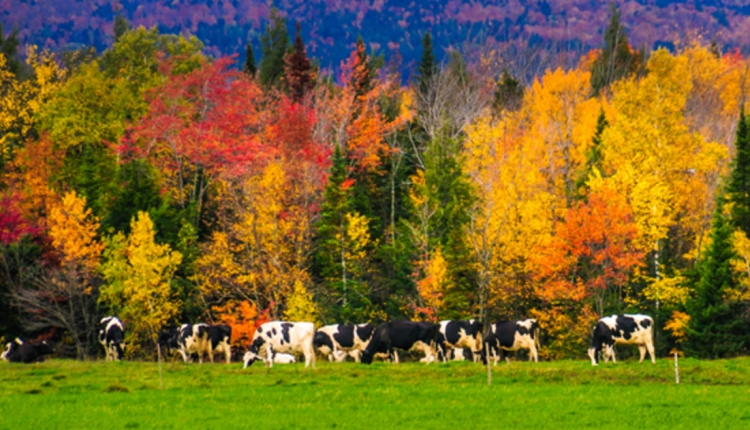 Ritchie_Fall_Dairy_Cattle
