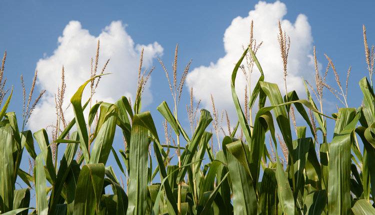 Seiler-corn