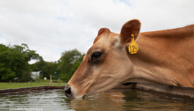 Thomas-cows_web4