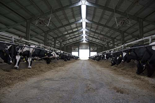 cow housing