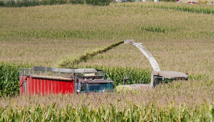 corn-crop