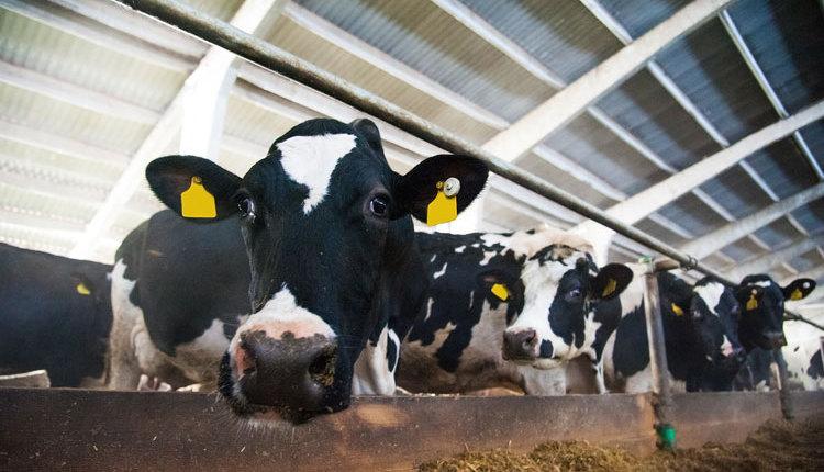 cows_ph5