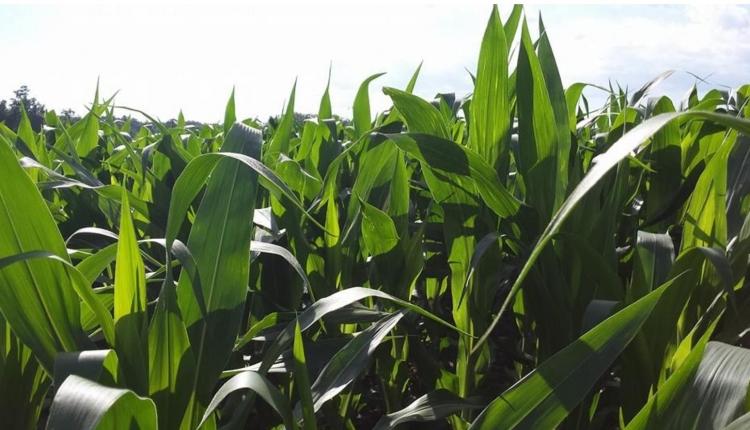 cr-corn